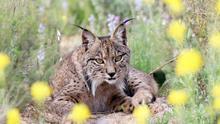 """El proyecto de tierras raras es """"incompatible"""" con especies protegidas como el lince ibérico"""