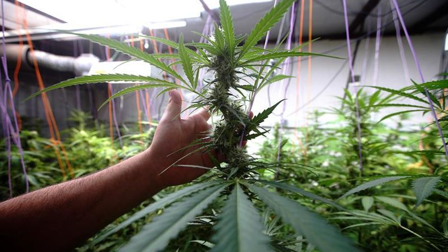 Argentina habilita su primer centro para producir cannabis medicinal