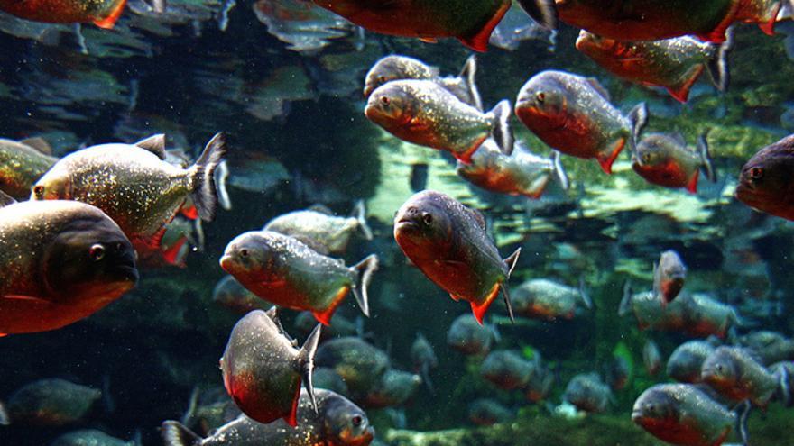 Los bancos de peces han inspirado, por ejemplo, los algoritmos de cúmulos de partículas