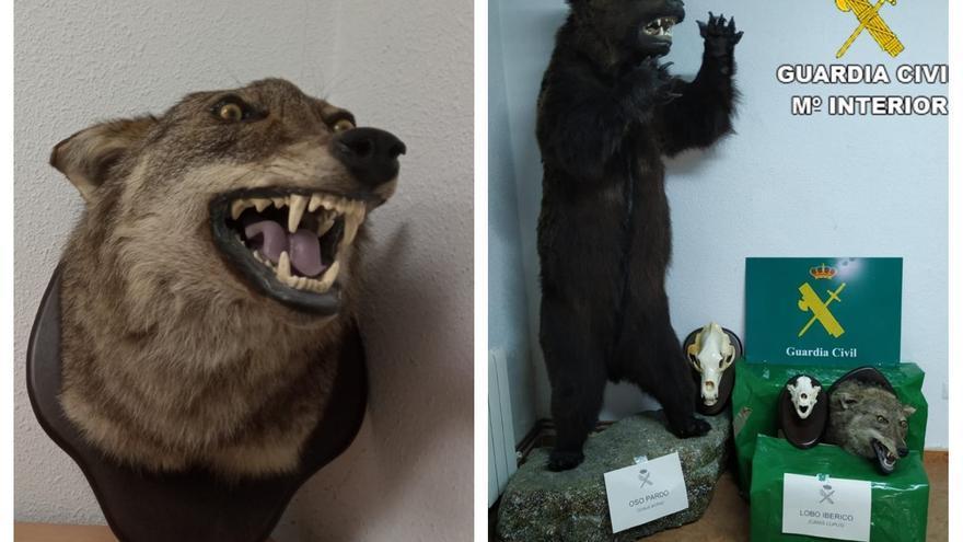 Investigan a un hombre de Toledo que tenía en su casa un oso pardo y una cabeza de lobo ibérico disecados