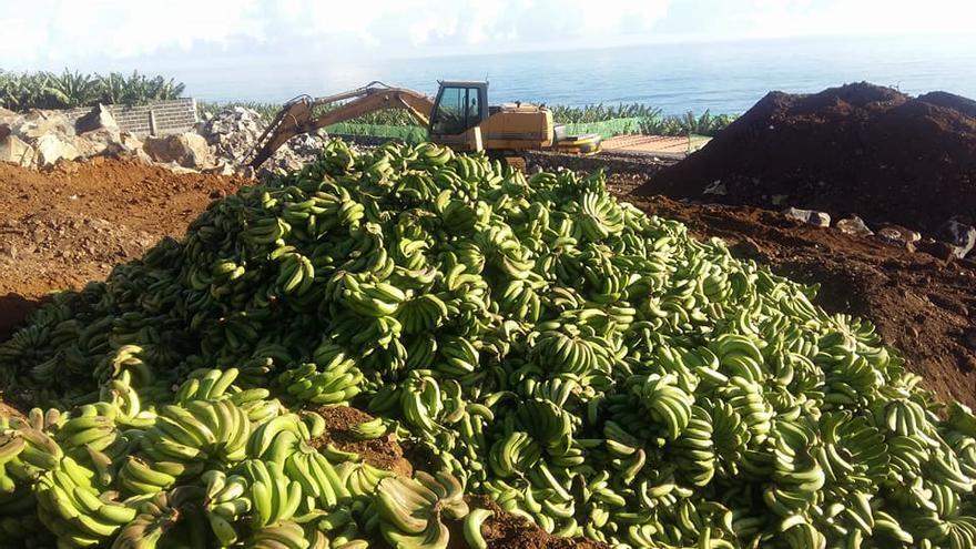 Montaña de plátanos preparados para ser enterrados en una sorriba, en La Palma
