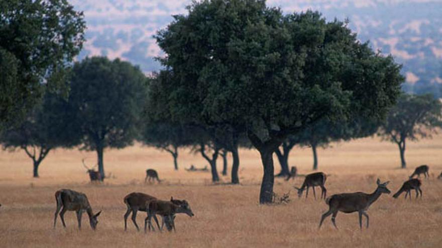 Las dehesas son el hábitat de los ciervos de Cabañeros.