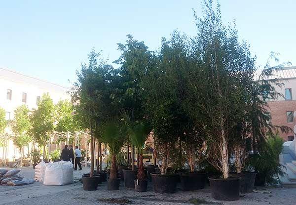 Los árboles, un día antes de la apertura de la terraza | SOMOS MALASAÑA