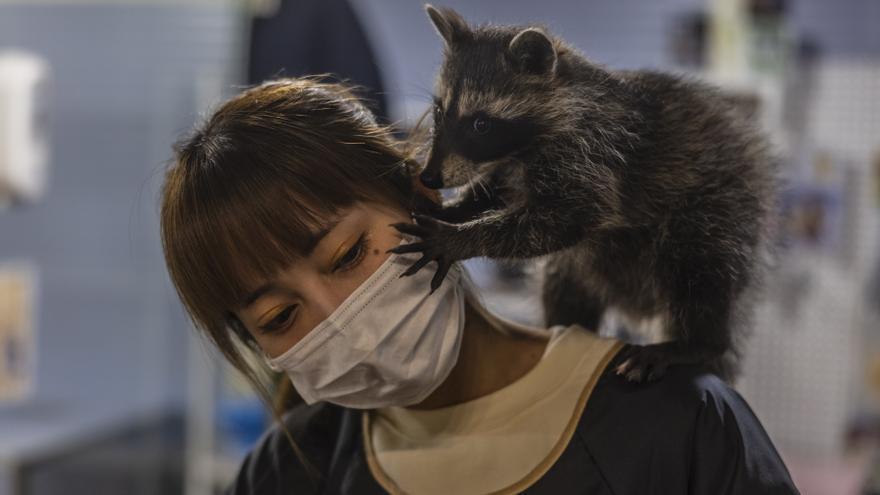 Un cortado y un mapache: los cafés con animales exóticos proliferan en China