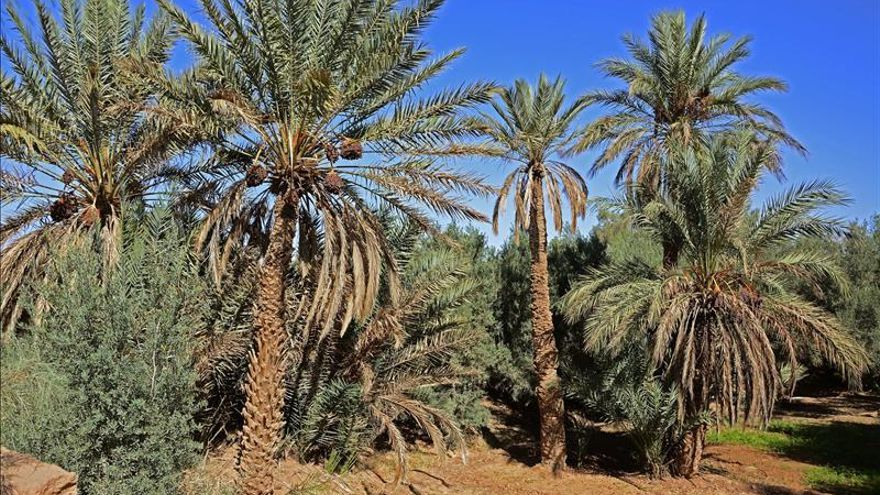 Los dátiles de Marruecos viven su fiesta de otoño