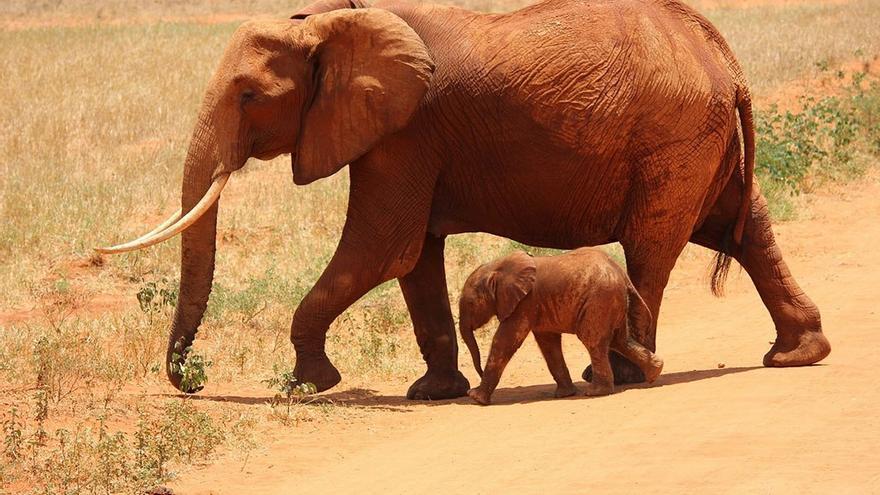 Elefante bebé protegido por su madre. (DP).
