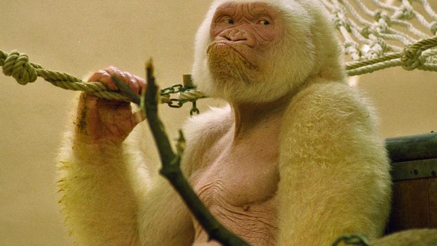Copito de Nieve en su instalación en el Zoo de Barcelona durante sus últimos años de vida