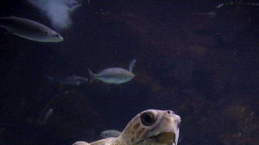 Una nueva vida para una tortuga boba rescatada del mar con las aletas amputadas