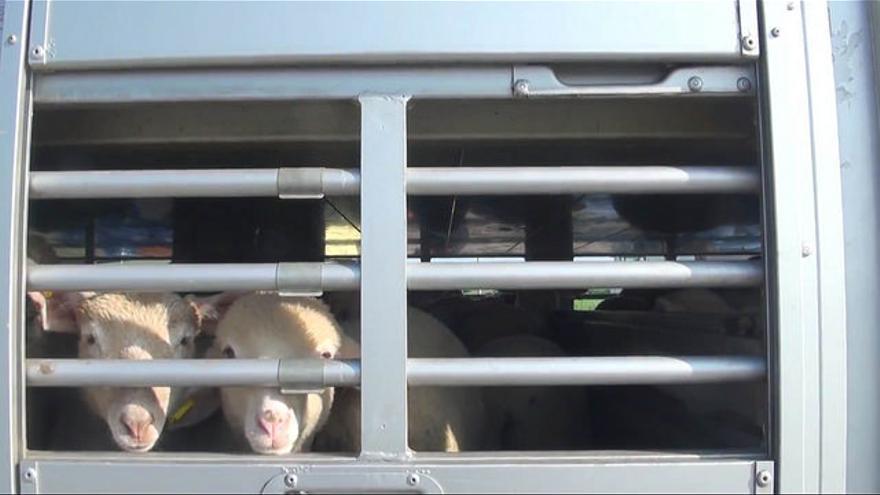 Corderos transportados al matadero. Foto: Igualdad Animal