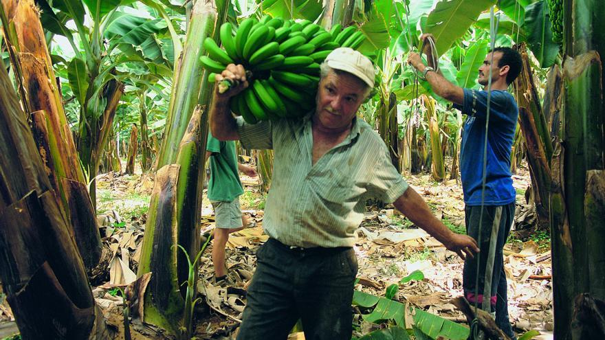 Imagen de archivo con corte de fruta en una platanera, en Tenerife.