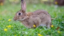 El conejo de monte deja de ser especie cinegética de interés preferente