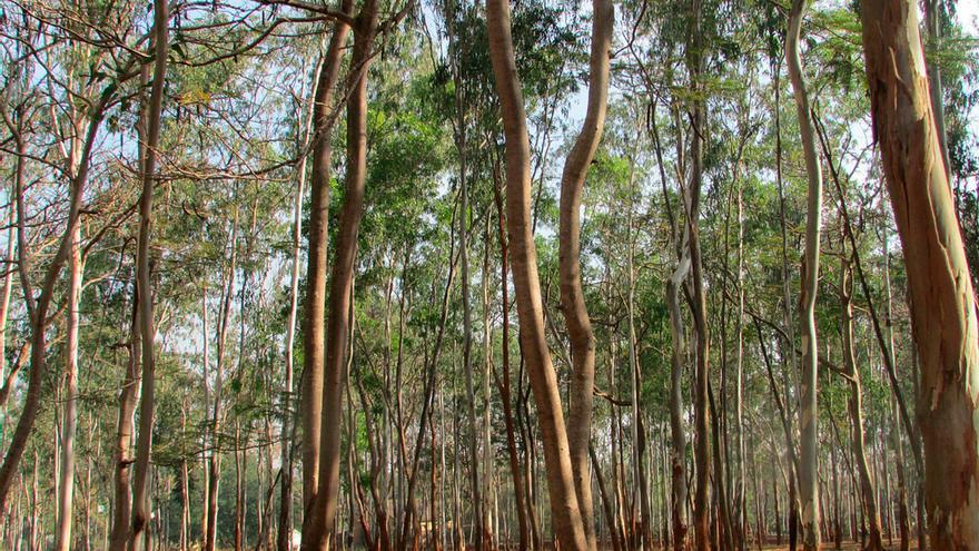 En Canarias el eucalipto es uno de los árboles más numerosos y diseminados