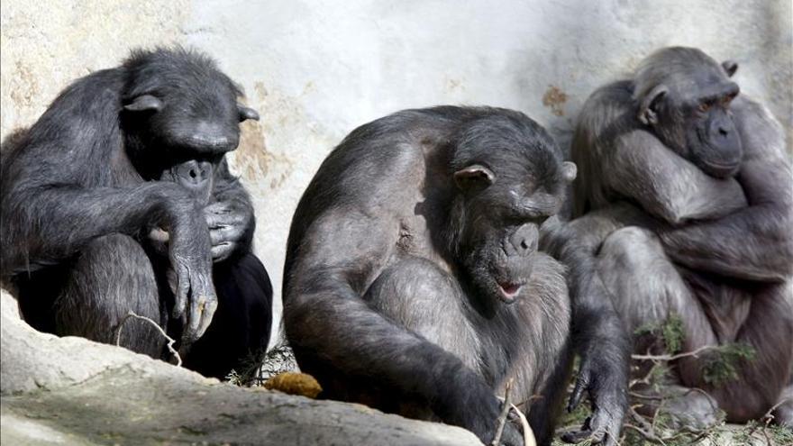 EE.UU. podría retirar a 360 chimpancés de sus experimentos médicos