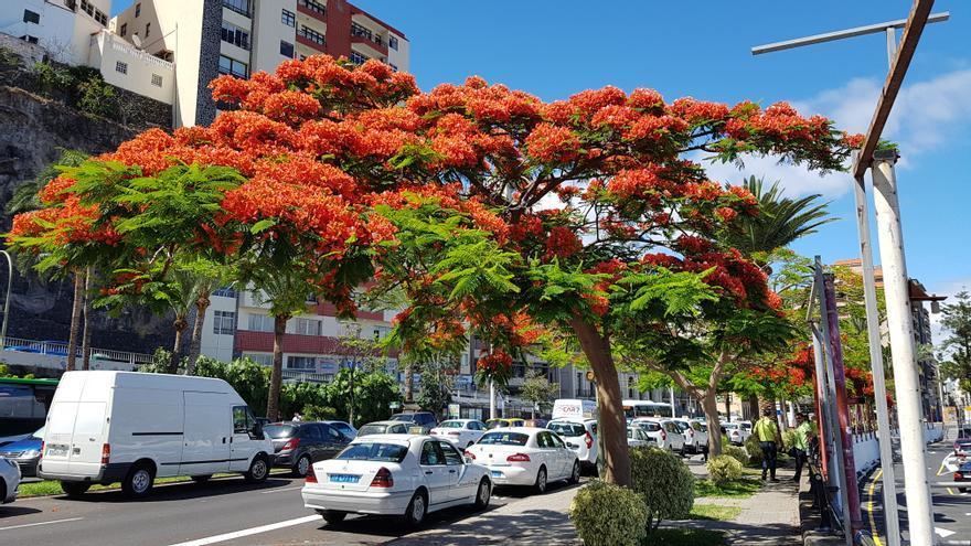Varios flamboyanes, en plena floración, en la Avenida de Los Indianos de Santa Cruz de La Palma.