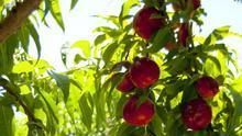 Preocupación porque comienza la campaña de la fruta de hueso sin precios ni contratos en el campo