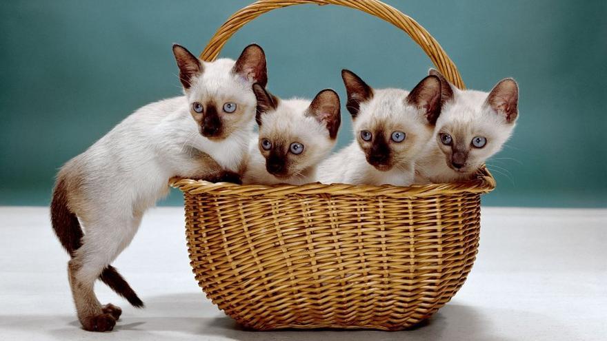 Unos gatitos siameses colocados en una cesta. Nueva Jersey, 1962.