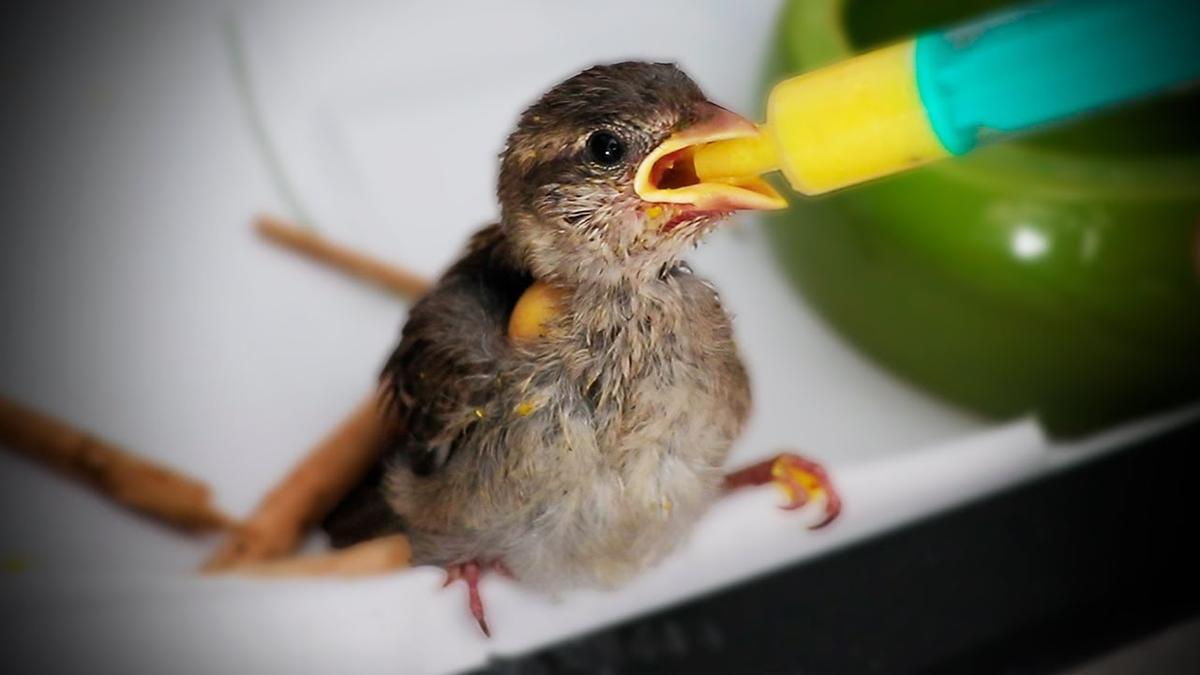 Un polluelo de gorrión común