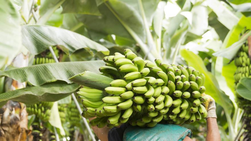 Cultivo de plátanos en Canarias.