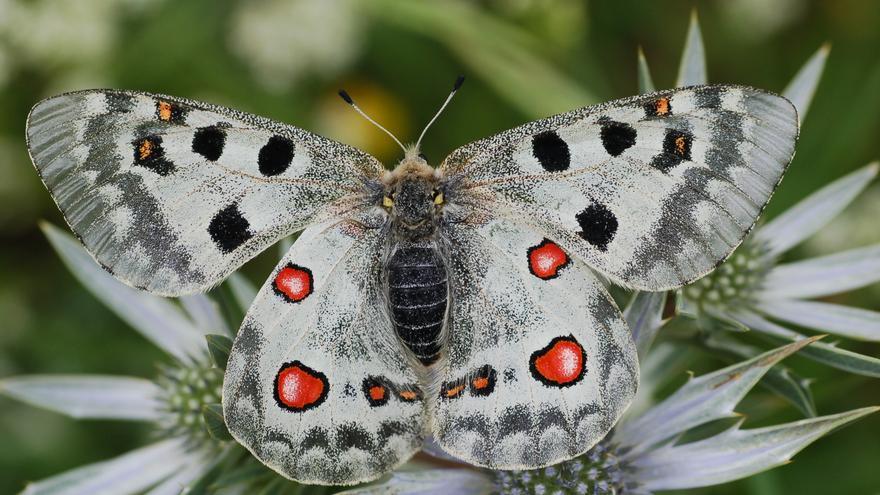 Parnassius apollo (hembra)
