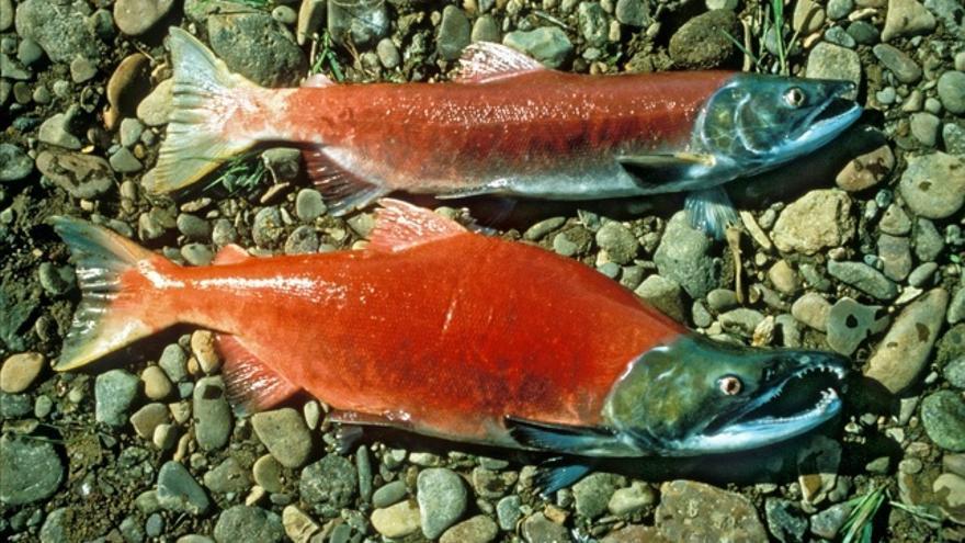Seis diferencias entre el pescado de granja y el salvaje