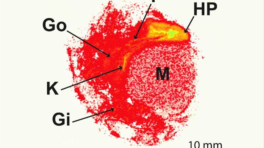 Microplásticos en una vieira