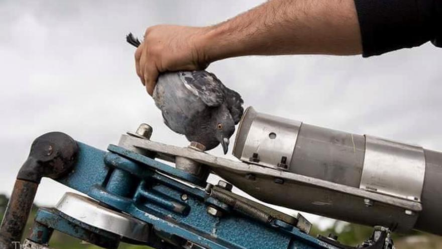 Tiro al pichón en España: una joven paloma es introducida en un cañón que la propulsará al aire para ser abatida. Foto: Tras Los Muros
