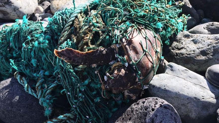 La tortuga atrapada en las redes de pesca.