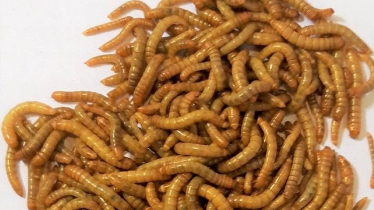 La granja de insectos Just Bugs producirá harinas para consumo aminal y humano a partir del gusano 'Tenebrio molitor'.