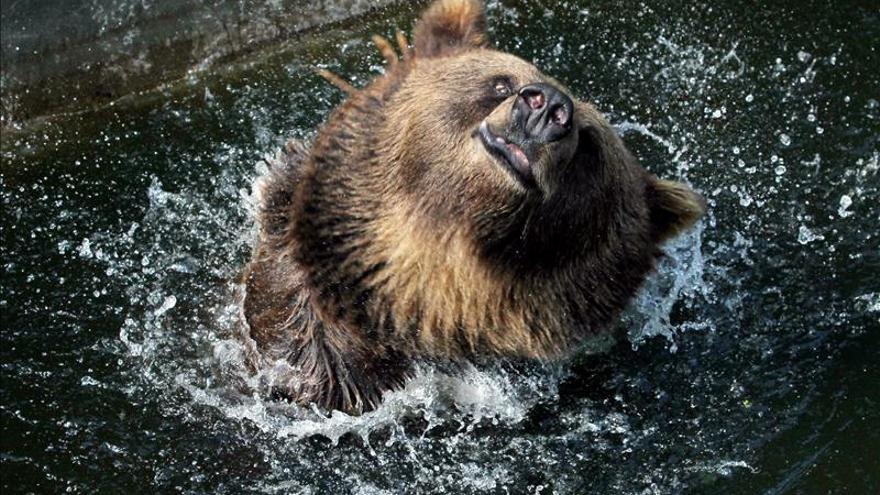 Dos detenidos por la muerte de un oso pardo en Asturias