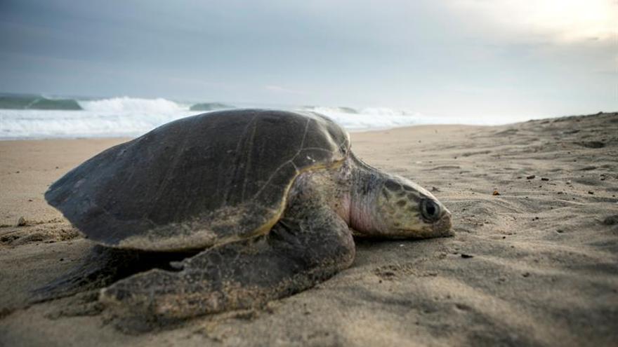 Miles de tortugas golfinas llegan a México a su último desove del año
