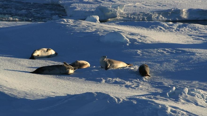 Abril de 2011. Viajando a Austasen. Muchas focas descansan en la banquisa entre pesca y pesca./Sergio Rossi