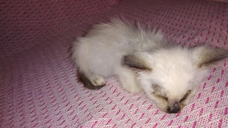 Pulgacilla, la gata siamesa encontrada en la basura con graves heridas.