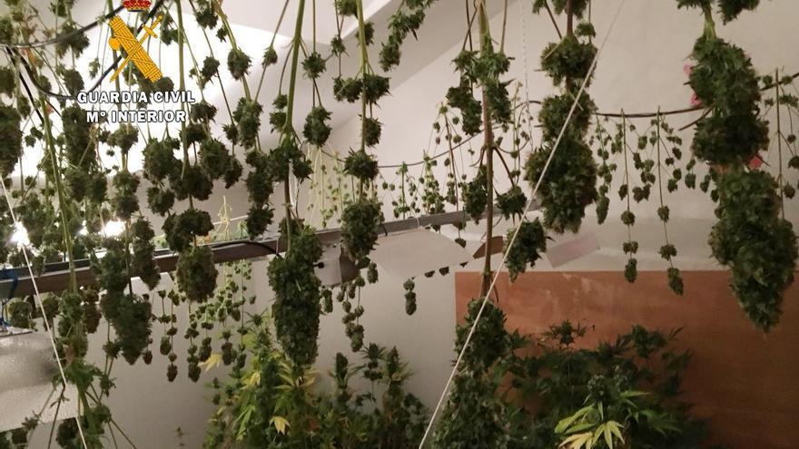 Desmantelada una plantación con más de 35 kilos de marihuana en Meruelo y detenidas dos personas