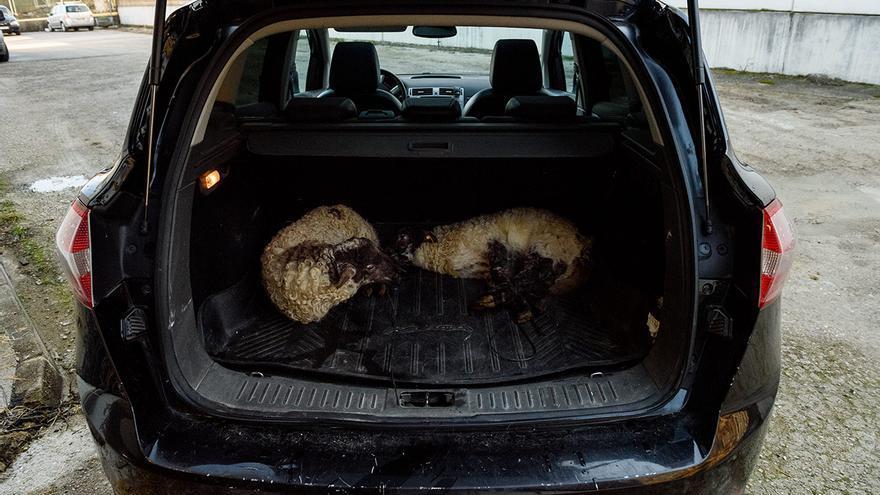 Dos corderos llegan en el maletero de un monovolumen con una soga atada a sus cuatro patas. Esta práctica está prohibida por el Reglamento (CE) Nº 1/2005 del Consejo del 22 de diciembre de 2004 relativo a la protección de los animales durante el transporte y las operaciones conexas. El coche es un medio de transporte no autorizado.
