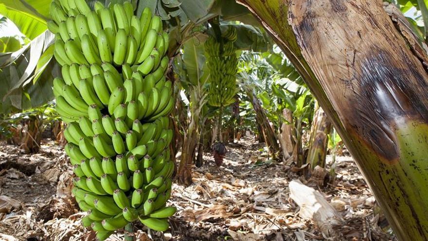 En la imagen, una 'piña' de plátano.