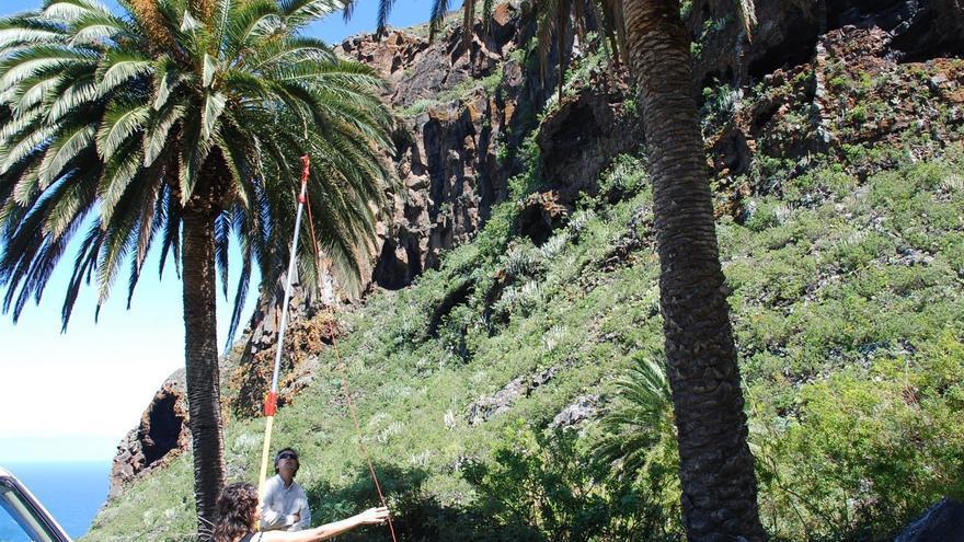 Ejemplar de palmera canaria en una zona de bosque termófilo, en el norte de la isla