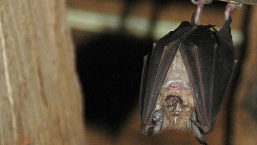 Murciélagos contra su mala fama: aliados del hombre en la lucha contra las plagas agroforestales
