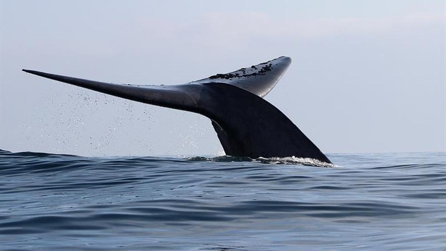 Cámaras colocadas en el lomo de las ballenas desvelan su vida en Antártida