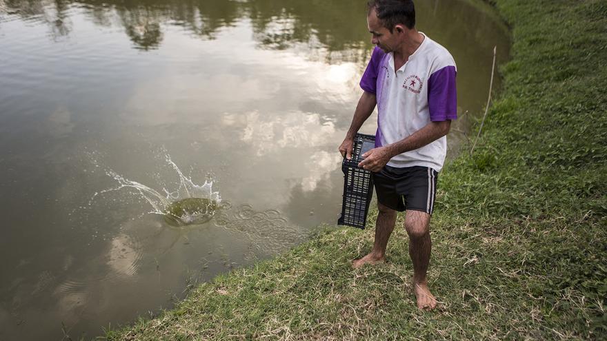 El encargado de la piscifactoría de Carasque lanza una tilapia al agua después de verla