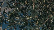 UPA alerta de que la climatología puede hundir la próxima cosecha de olivar