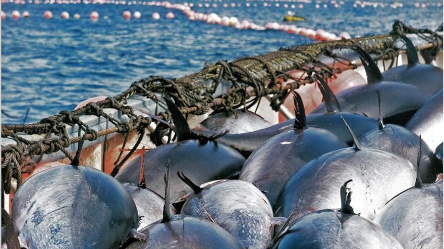 El atún de almadraba, a la pesca de turistas