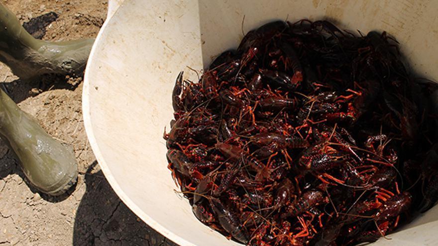 La pesca del cangrejo de río, sustento económico clave en Isla Mayor (Sevilla) / JUAN MIGUEL BAQUERO