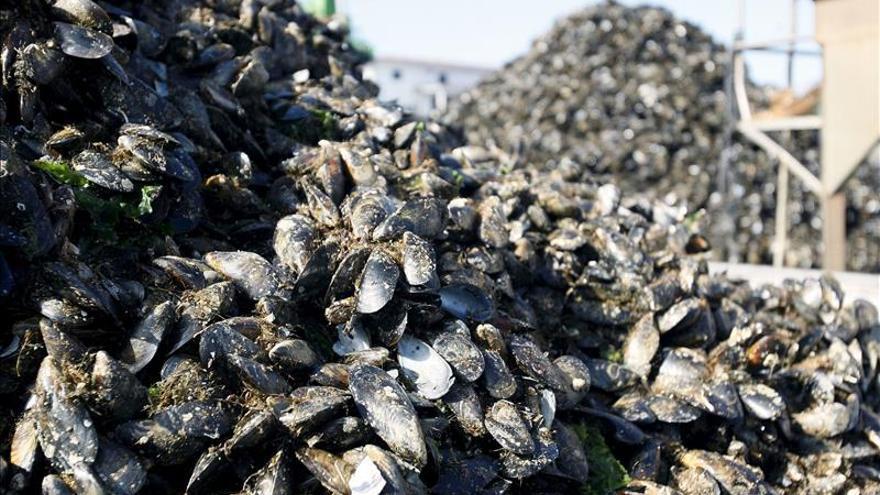 La Denominación de Origen Mexillón de Galicia bate el récord con 33,1 millones de kilos en puerto