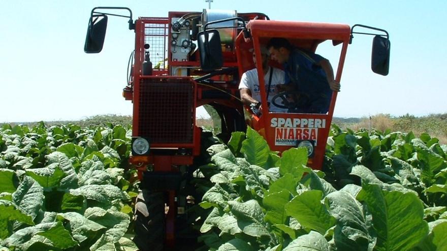 Trabajadores en la cosecha del tabaco