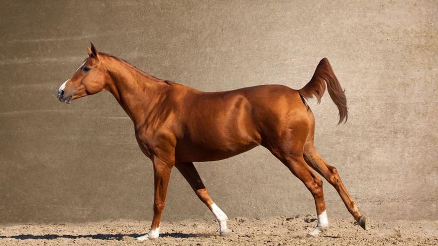 """Los defensores del """"barefoot"""" o pies descalzos aseguran que los caballos tienen así una vida más sana"""