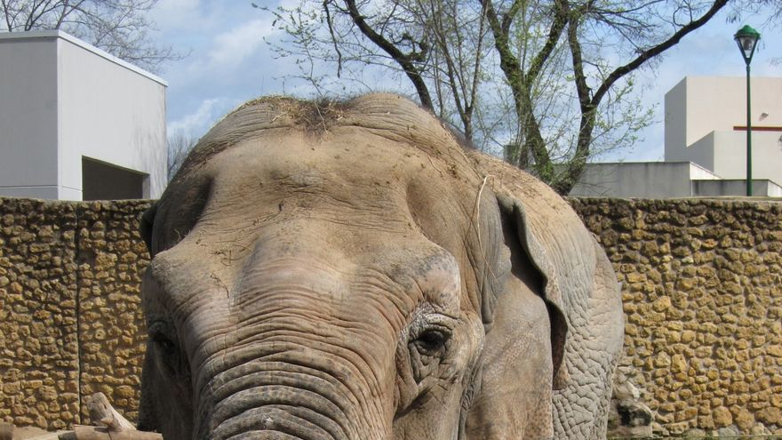 Muere la elefanta Flavia tras vivir más de 40 años en el zoo de la capital
