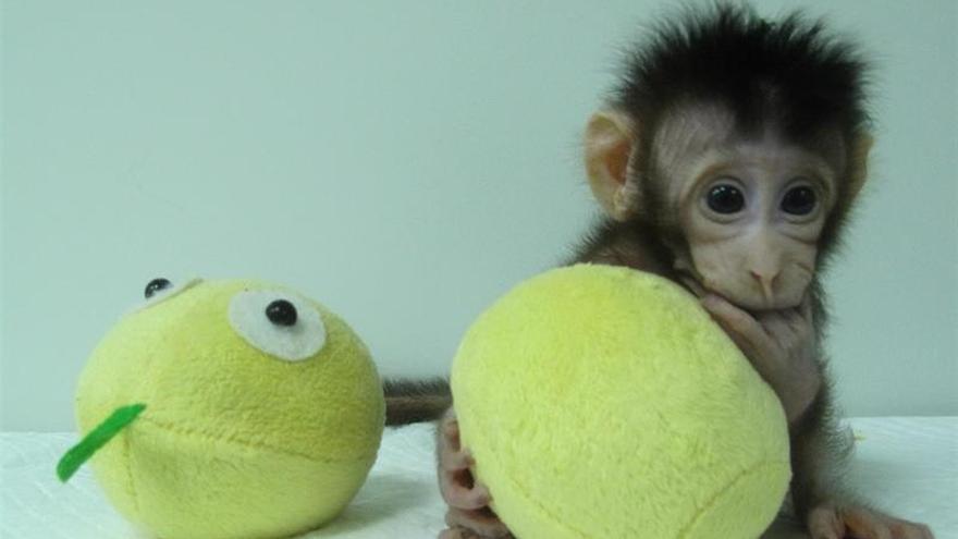Clonan a dos primates con la misma técnica con la que se creó la oveja Dolly