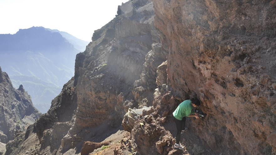Durante los meses de noviembre y diciembre se está llevando a cabo en las cumbres de La Palma la reintroducción de ejemplares del musgo 'Grimmia curviseta'. Foto PARQUE NACIONAL DE LA CALDERA