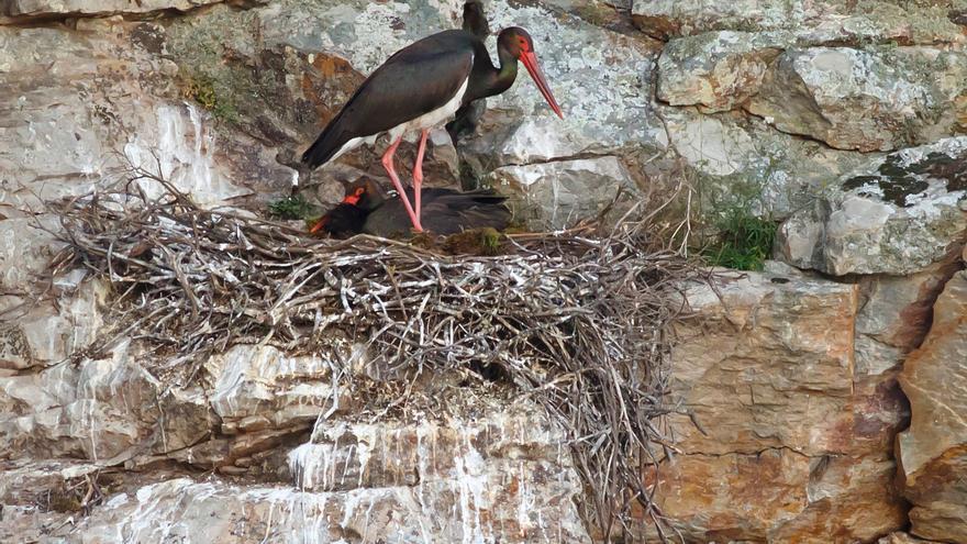 Nido de cigüeñas negras en el parque nacional de Monfragüe / G. Clark.