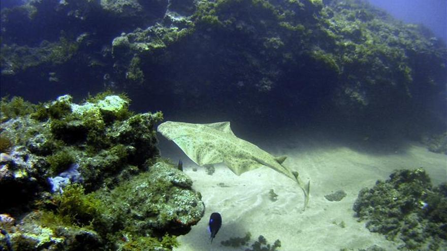 Los buceadores de Canarias comunican 12 avistamientos del raro tiburón ángel
